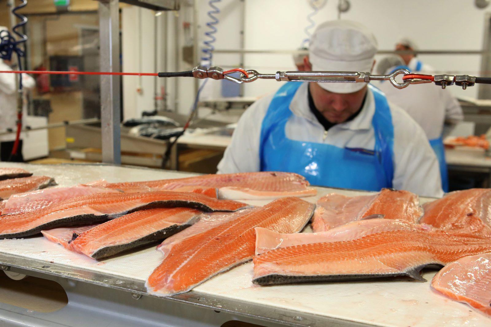 Kirjolohifileitä käsitellään kalanjalostamossa