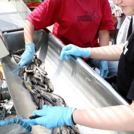 Kalanpoikasia linjastolla, kaksi ihmistä rokottaa kaloja.