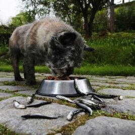 Pieni koira syö ulkona nappuloita, koiranruoka-astian ympärillä on pieniä kaloja.