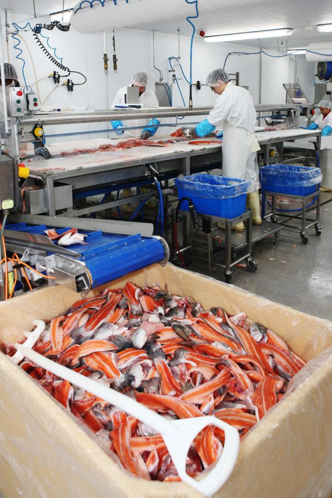 Kalanjalostustehtaassa kaksi ihmiustä työskentelee taka-alalla linjastolla, etualalla isossa astiassa kirjolohen perkeitä.